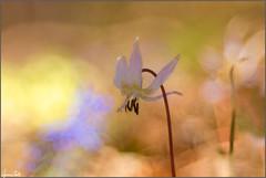 showtime (Luciano Silei - sky7) Tags: dente erythroniumdenscanis dogtoothviolet nature flower bokeh colors macro closeup lucianosilei canon6d trioplan meyergorlitz manualfocus m42 vintagelens spring