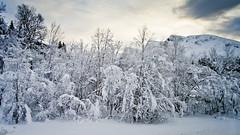 Això és realment fred / That's the real cold (SBA73) Tags: noruega norway norge troms tromso tromsø artic hivern winter neu nieve snow schnee fred frio cold arbres arboles trees frozen fagernes gel hielo ice