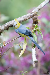 Long tailed silky flycatcher (Osprey-Ian) Tags: costarica longtailedsilkyflycatcher paraisoquetzallodge