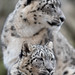 Snow Leopard Cub and Mom Looking Right