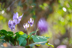 20190321-DS7_1260.jpg (d3_plus) Tags: bokeh aiafzoomnikkor80200mmf28sed d700 thesedays wildflower 日常 walking 城山 ボケ 相模原 望遠 カタクリ 自然 景色 dogtoothviolet sagamihara trekking 神奈川県 sky telephoto 山野草 風景 japan erythroniumjaponicum ニコン トレッキング nature dailyphoto ハイキング nikon nikond700 kanagawa flower nikkor shiroyama 8020028 dogtoothvioletvillage bloom 植物 80200mmf28d 散歩 80200mmf28af plant 花 scenery 80200mmf28 daily 城山かたくりの里 hiking 80200 日本 tele 80200mm かたくりの里 空