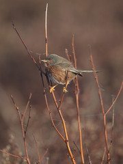 Handsome in pink (Chris Bainbridge1) Tags: sylviaundata male dartford warbler gorse early morning