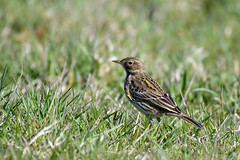 Graspieper-Meadow Pipit (Anthus pratensis) (Bram Reinders(on-off)) Tags: graspieper meadowpipit anthuspratensis rodelijst vogel bird natuur nature wildlife oosterhornkanaal farmsum curiosityisthesourceofallknowledge nieuwsgierigheidisdebronvanallekennis groningen holland nederland thenetherlands nikond500 nikonafs200500mmf56evred nikon200500 nikkor200500 200500 nikkor nikon ©bramreindersdelfzijl bramreinders bram reinders delfzijl wwwbramreindersnl