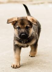 2019-03-02, Mel x Dezi Pink Female-3 (Falon167) Tags: gsd germanshepherddog german shepherd dog puppy mel dezi melxdezi litter bessie puppies