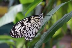 White Tree Nymph (tanyalinskey) Tags: paperkite beautiful whitetreenymph butterfly macro