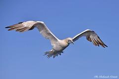 Sula _015 (Rolando CRINITI) Tags: sula uccelli uccello birds avifauna ornitologia evoluzione costaltrip viareggio natura toscana