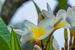 Frangipani Flowers in the Rain (Merrillie) Tags: frangipani woywoy flowers closeup floral newsouthwales wet nsw summer water macro beautiful rain flower gardens flora australia nature frangipanis yellow tropical coastal