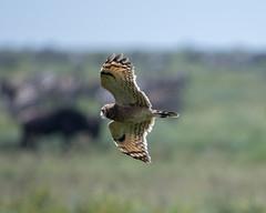 Marsh Owl (Asio capensis) in flight. (Mark Vukovich) Tags: marsh owl asio capensis bird ndutu tanzania flight