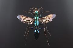 Chlorion lobatum (female) (Scrubmuncher) Tags: wasp sphecidae chlorionlobatum metallic insect predatory malaysia