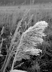Staude_im_Frost_bw_tx_P1340371 (said.bustany) Tags: bruchköbel hessen 2019 märz bw natur frost staude