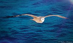 Seagull. (Veselina Dimitrova) Tags: blue water sea picoftheday photooftheday greatphotographers clickthecamera clickcamera naturelovers naturephoto nature naturephotography greece birds seagull