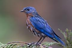 2E2A9723 (R Goff) Tags: bluebird blue canon7d canon7dmkii nature wildlife bird wet
