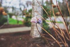 Don't call this world an explanation, or even an education. (amber {in the shadow of za'ha'dum}) Tags: canon5d canon5dmk3 sigma sigma35mmf14 35mm f14 bokeh bokehlicious bokehwednesdayhangover flowers flower hydrangea winter january 2019 beaverton oregon natureycrap nature tra totallyradactions pixelsugar
