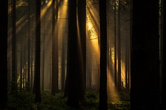 forest series #210 (Stefan A. Schmidt) Tags: meschede nordrheinwestfalen deutschland de forest tree trees sunbeam sunbeams scenic ethereal