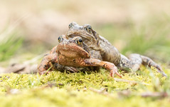 Amplexus (Eric Penet) Tags: amphibien mars animal sauvage batracien mormal forêt printemps locquignol wild wildlife nature france nord faune grenouille rousse frog