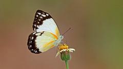 African Common White  Belenois creona (jaytee27) Tags: ghana africancommonwhite naturethroughthelens belenoiscreona