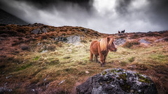 Feels like home to many of us  .... Ogwen ponies xx (Einir Wyn Leigh) Tags: landscape rural love ponies rugged mountains feral wales beauty colorful uk nature outside