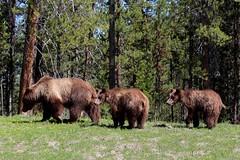USA - Wyoming  - Grand Teton NP - Grizzlis -  Female with its 2 bear cubs (mda'skaly) Tags: bear cubs wildlife nature sauvage animaux animals grandtetonnp yellowstonenp usa americanlandscape wyoming