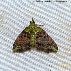 Pasiphila viridata (57Andrew) Tags: hongkong hkmoths larentiinae taimoshan pasiphilaviridata