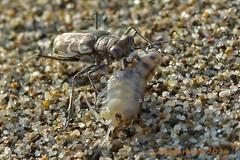 Cylindera trisignata che ha catturato una Pulce di mare (Talitrus saltator) lungo la battigia. Litorale della Maremma grossetana (GR) (vespa90ss) Tags: coleoptera coleotteri cicindelinae cicindelidae bug insecta insetto macro insect beetle faunadunale