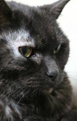2019 Sydney: Miss Mia (dominotic) Tags: 2019 mia cat pet animal feline 1712yearoldcat sydney australia