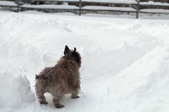 Sedum - 1/21/19 (myvreni) Tags: vermont winter nature snow outdoors animals dogs cairnterriers pets