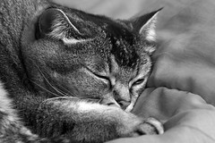 Bibi's #monochrome dreams (Ker Kaya) Tags: cat monochrome flickrfriday bw mono blackandwhite serenity sleep dreams sweet cute pet face portrait