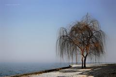 piangenti solitari (pamo67) Tags: pamo67 lonelycrying alberi trees lago lake luce light spiaggia beach inverno winter ghiaia gravel foschia mist azzurro pasqualemozzillo salici willows