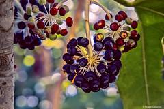 2693  Frutos del bosque (Ricard Gabarrús) Tags: flor flores frutos botanica jardin plantas ricardgabarrus ricgaba olympus arbol