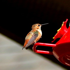 Hummingbird (austexican718) Tags: hummingbird texas native fauna centraltexas hillcountry winter wildlife bird backyard birdfeeder nature canon
