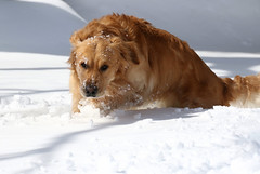 Moving Thru (Diane Marshman) Tags: thedude the dude goldenretriever golden retriever large dog breed brown white fur snow winter season action motion pa pennsylvania nature