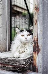Olivia the Stargazer (Nobusuma) Tags: pentaxmx pentax smcpentax 50mm f17 colorfilm kodakgold 200asa cat gatto olivia portrait film analog 24x36 rust ペンタックス フィルム カーラーフィルム 猫 thecatwhoturnedonandoff