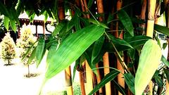 Bambu Kuning / Bamboo (setiawanap) Tags: setiawanap setiawanapvlog indonesia tanaman tumbuhan daun bunga buah batang plants tree leaf flower fruit bambu kuning bambukuning bamboo