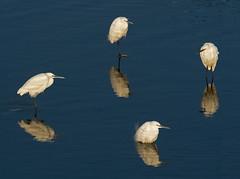 Evening Egrets (mishko2007) Tags: egrettagarzetta littleegret 200500mmf56 korea