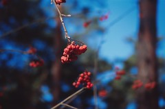 Рябина / Rowanberry (spoilt.exile) Tags: украина киев лес зима рябина ягоды деревья бокэ небо цвет природа пленка скан слайд ukraine kiev kyiv forest winter rowanberry berries trrd bokeh sky color nature film scan slide reversal kodak ektachrome