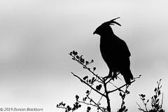 Sentinel (Explore 2 March 2019) (Duncan Blackburn) Tags: 2019 kenya longcrestedeagle masaimara bird nikon nature wildlife