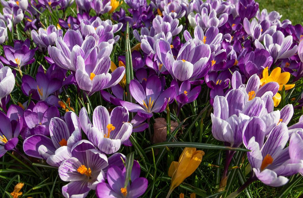 0c2b393eca50 Spring arrives early (The Crewe Chronicler) Tags  spring springflowers  springbulbs bulbs flower flowers