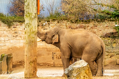 Chester Zoo March 2019 (Phil Longfoot Photography) Tags: zoo elephants elephant giraffe chester cheshire chimps chimpanzees