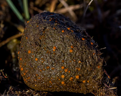Cheilymenia stercorea on pony dung (BiteYourBum.Com Photography) Tags: dawnandjim dawnjim biteyourbum biteyourbumcom copyright©2019biteyourbumcom copyright©biteyourbumcom allrightsreserved canoneos7d canonefs60mmf28macrousm apple imac5k lightroom6 ipadair appleipadair camranger zerenestacker focusstacking polaroidautofocusdgmacroextensiontubes manfrotto055cxpro3tripod manfrotto804rc2pantilthead loweproprorunner350aw uk unitedkingdom gb greatbritain england thenewforest newforest newforestnationalpark hampshire onponydung ponydung newforestpony pony dung holmsleyridge holmsley