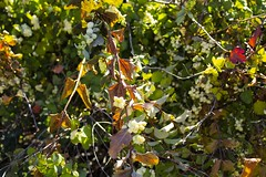 On the vine, as leaves turn to fall. Taken on 10-20-18, at Majestic View Nature Center in Arvada, Colorado.  . . . . .  #CanonRebelT5 #Canon #Rebel #T5 F/5 34mm 1/1000s ISO-640 #vine #leaves #fall #MajesticViewNatureCenter #Arvada #Colorado #oooShiny #ooo (oooshinyphotography) Tags: color canonrebelt5 naturephotography fallleaves colors coloradoshared coloradotography arvada canon oooshiny leaves fall colorado colorcaptures vine t5 coloradolove rebel nature coloradocreative majesticviewnaturecenter coloradophotography oooshinyphotography viewcolorado coloradophotographer autumnvibes vines autumn coloradocollective