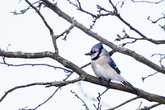 Blue Jay (Phil Wollenberg) Tags: blue jay wollenberg ohio bird winter dawes arboretum