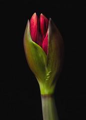 """Amaryllis 'Merlot"""" Flower Bud (annabelleny Thank you for your many views and comm) Tags: flower floral bud anarulis amaryllis'merlot"""" onblack annjacobson"""