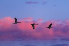 Sandhill Crane (stevencoffin1) Tags: birds sandhillcrane animals newmexico usa places bernardo bosque unitedstatesofamerica us