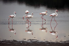 Greater flamingos Ndutu Ngorongoro Conservation Area in Tanzania (inyathi) Tags: africa eastafrica tanzania africanwildlife africananimals africanbirds birds flamingos greaterflamingos phoenicopterusroseus reflections waterfowl waterbirds