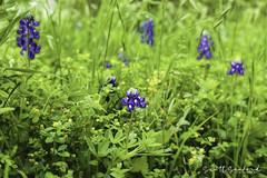 6D_Aransas (34)-Edit (Scott Sanford Photography) Tags: 6d canon eos naturalbeauty naturallight nature outdoor springbreak texas wildflowers beautiful bluebonnets flowers roadtrip spring