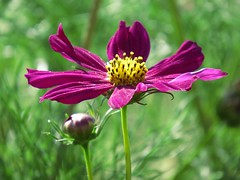 """ Dancing Queen ""  ( Cosmos / Kosmos ) (Pixi2011) Tags: wildflowers flowers flora nature southafrica africa"
