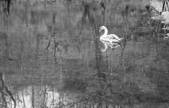 Sygnet View (jayteacat) Tags: sygnet swan riverbtadford youlgrave youlgreave derbyshire peakdistrict whitepeak bw nikond810