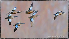 Blue Wing Teal (RKop) Tags: armlederpark cincinnati ohio raphaelkopanphotography d500 600mmf4evr nikon