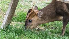 Muntjac (pstani) Tags: england essex europe greatbritain waltononthenaze animal barkingdeer deer fauna muntjac