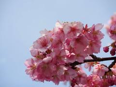 Pink cherry blossoms (桜) (Greg Peterson in Japan) Tags: shiga japan flowers cherryblossoms yasu plants 滋賀県 野洲市 植物 花 桜 近江富士花緑公園 shigaprefecture jpn